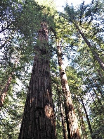 Armstrong Redwood forrest